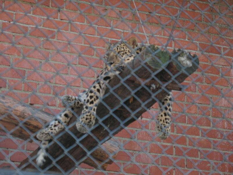 Леопард отдыхает (21.05.2013)