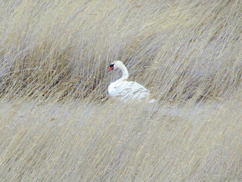 Лебеди на Аслыкуле