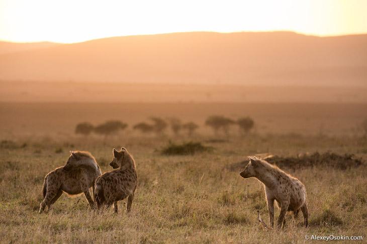 2. Главенствующая самка гиены контролирует абсолютно все процессы в клане. Кроме рождения и воспитан