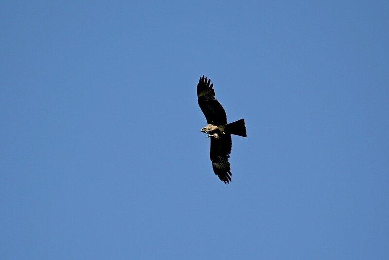 Чёрный коршун (Milvus migrans) выпустил когти перед атакой