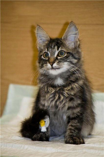 Москва. SOS! Трехмесячному  котенку - Рысе очень нужна помощь!