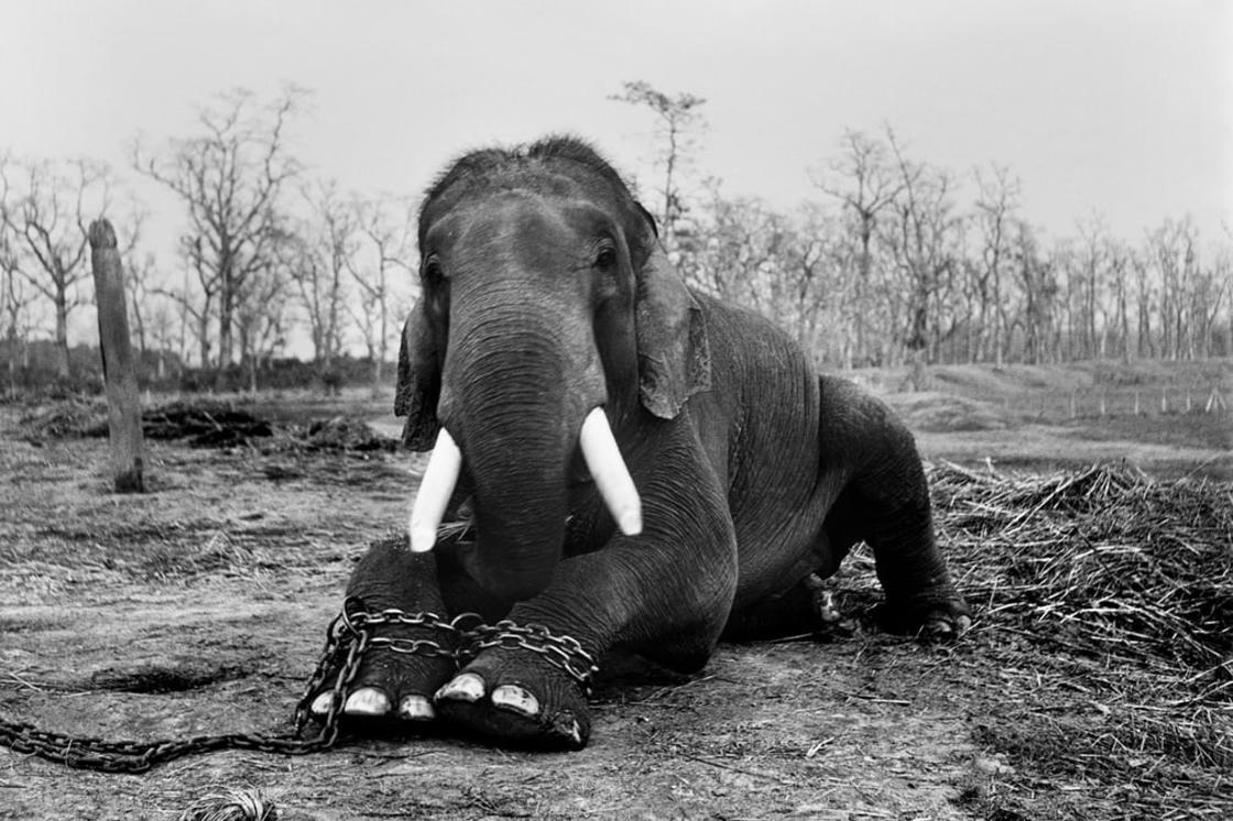 This bull elephant will end his life in chains in Nepal's Chitwan national park, a consequence of ha