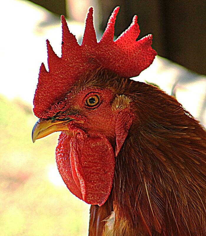 Красная головушка