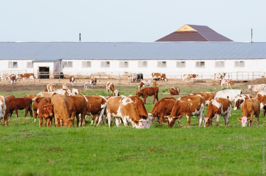 картинки коровы