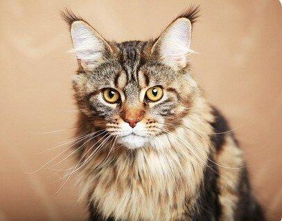 В рамках субкоты: породы котиков