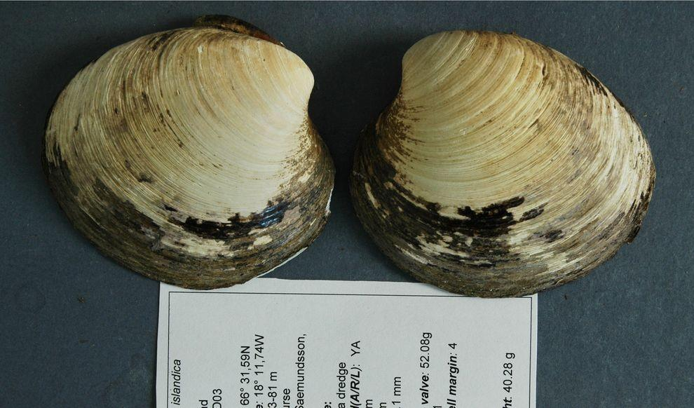 10. Моллюск по кличке Мин, выловленный на исландском шельфе, по первым предположениям прожил 400 лет