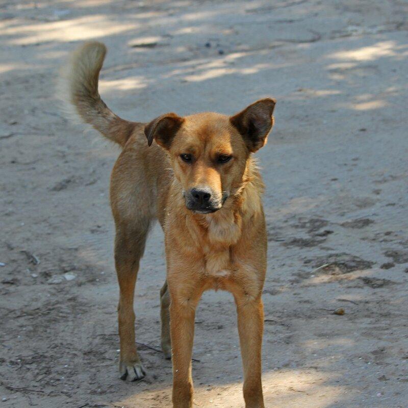 Рыжая собака с серьёзным взглядом