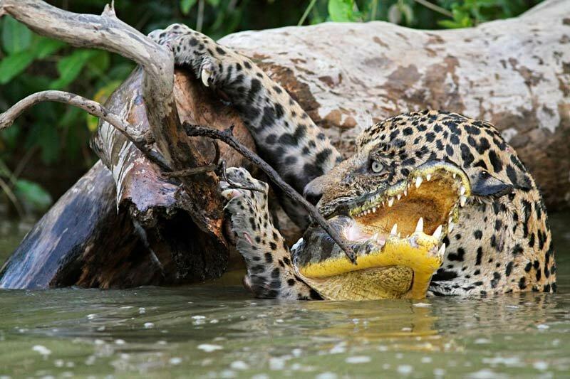 Ягуар vs крокодил