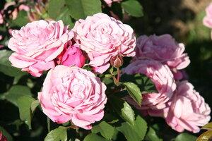 Роза сестра эммануэль