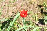 Красный туюльпан