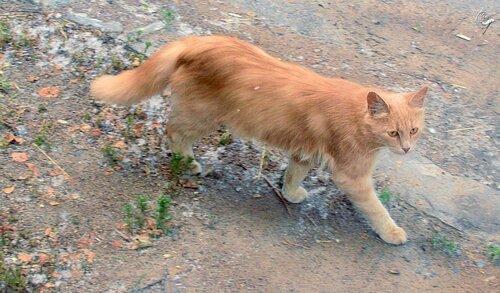 Рыжий кот бредет