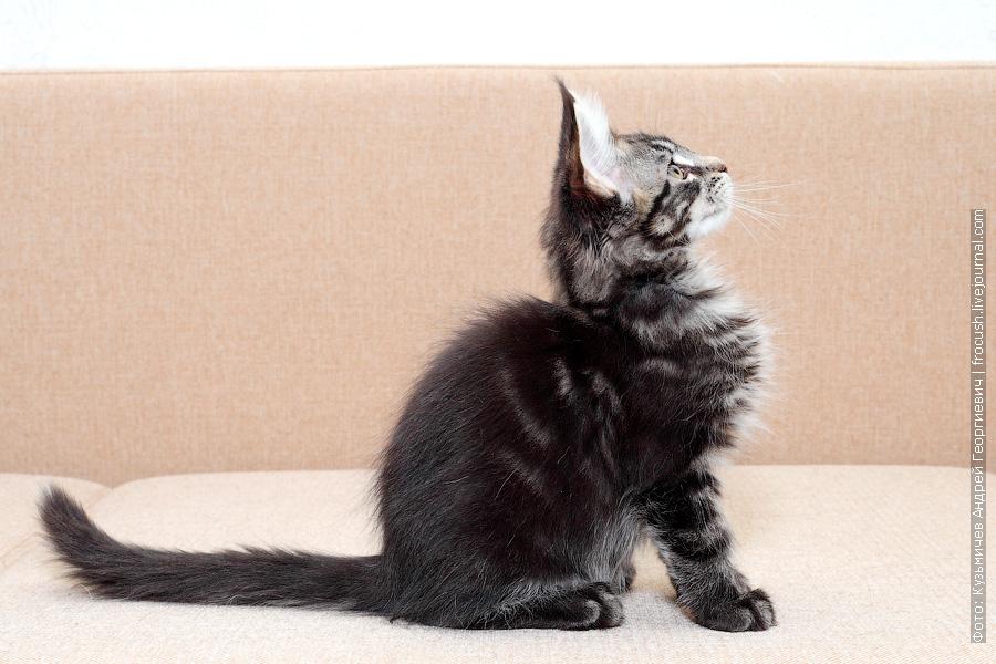 Москва котенок Мейн-кун