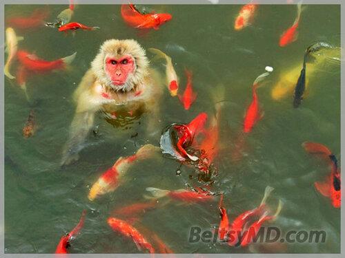 Парк дикой природы — обезьяна играет с карпами