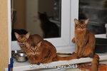 Somalicana кошки