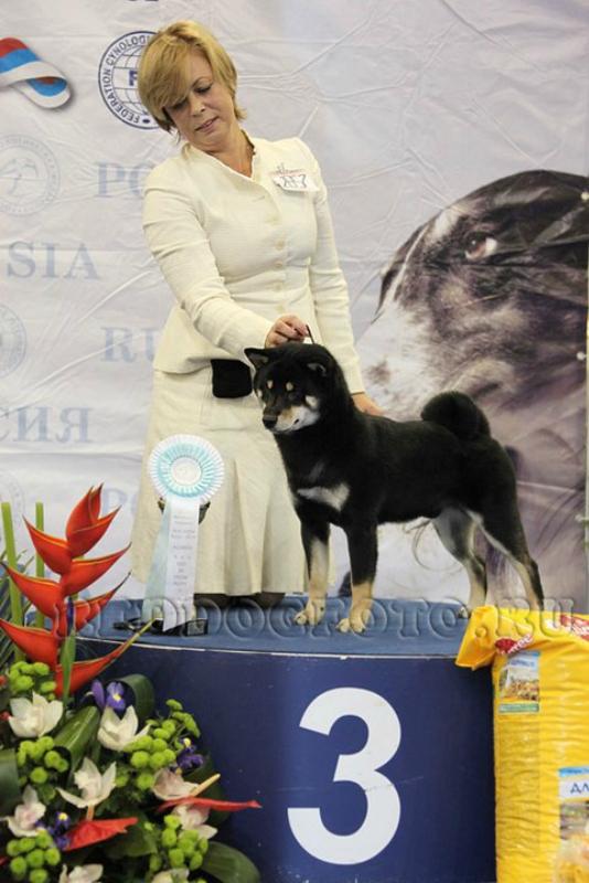 Сиба Акацуки Куродайя BEST puppy 3.jpg