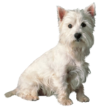 JB_Cairn_Terrier.png