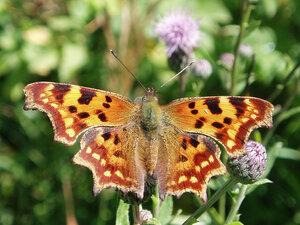 s:бабочки,s:дневные бабочки,l:переднего крыла до 29мм,размах крыльев до 52 мм,c:охристо-рыжие