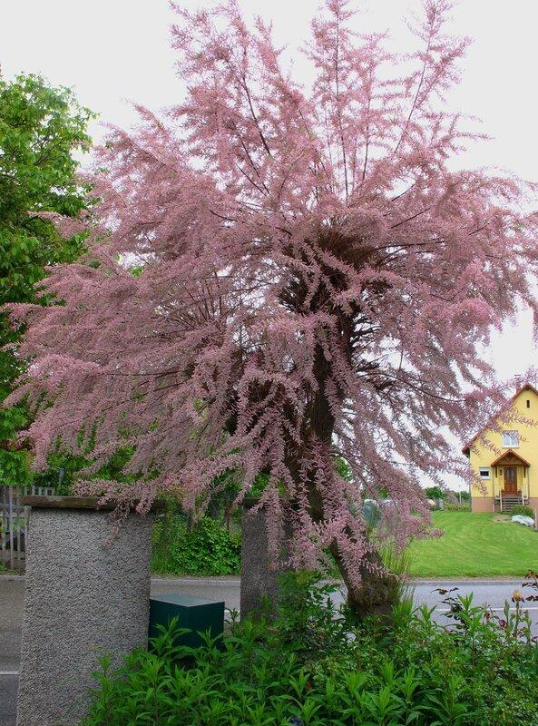 Розовое дерево-Тамариск