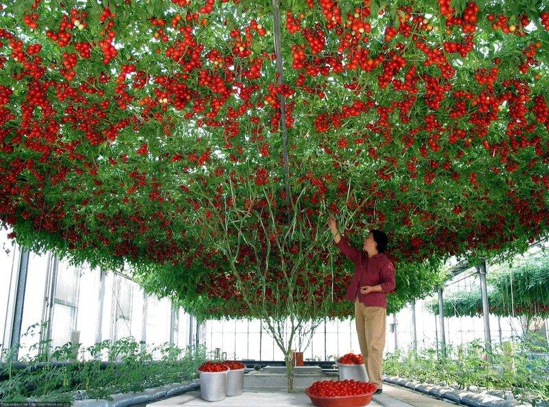 Тамарилло - томатное дерево или как правильно выращивать помидоры