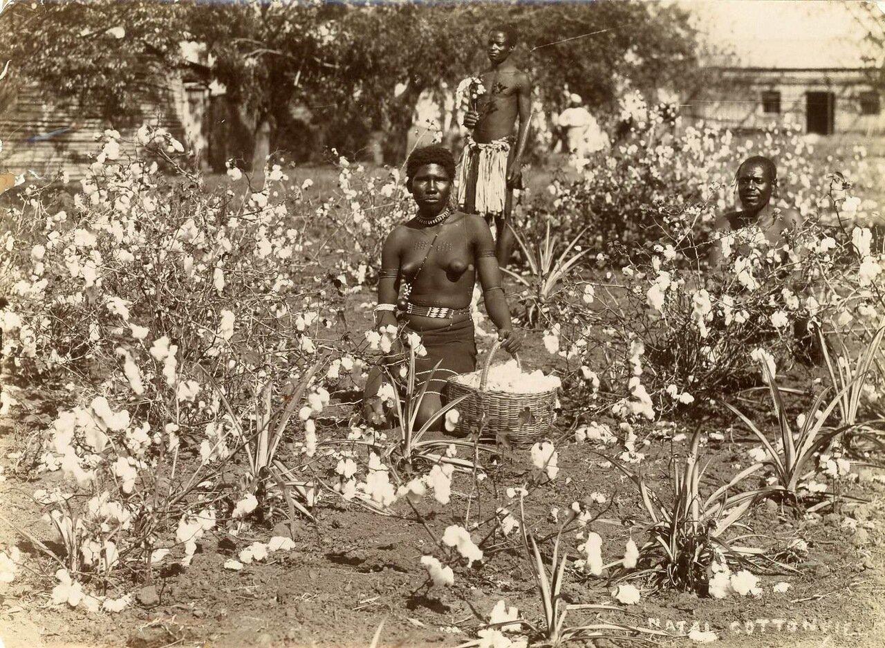 Сборщики хлопка в Натале. Южной Африке, 1885