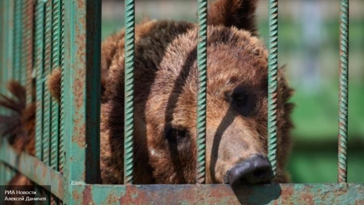 Вглобальной паутине появилось шокирующее видео издевательства над курильским медведем