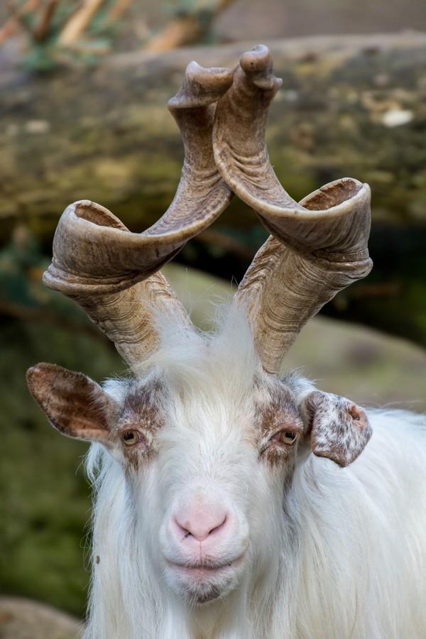 2. Винторогий козел ( flickr.com ) Рога закручиваются наподобие штопора или винта.