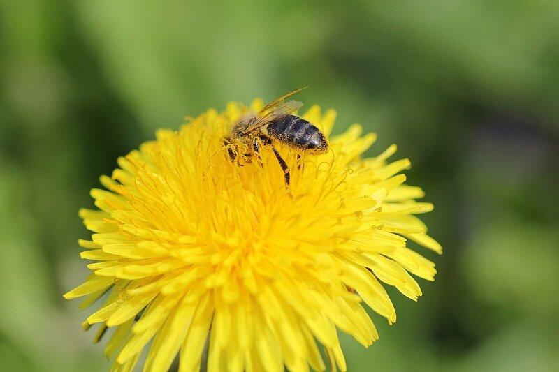 Жёлтая и чумазая - пчела, испачкавшаяся в жёлтой пыльце на цветке одуванчика