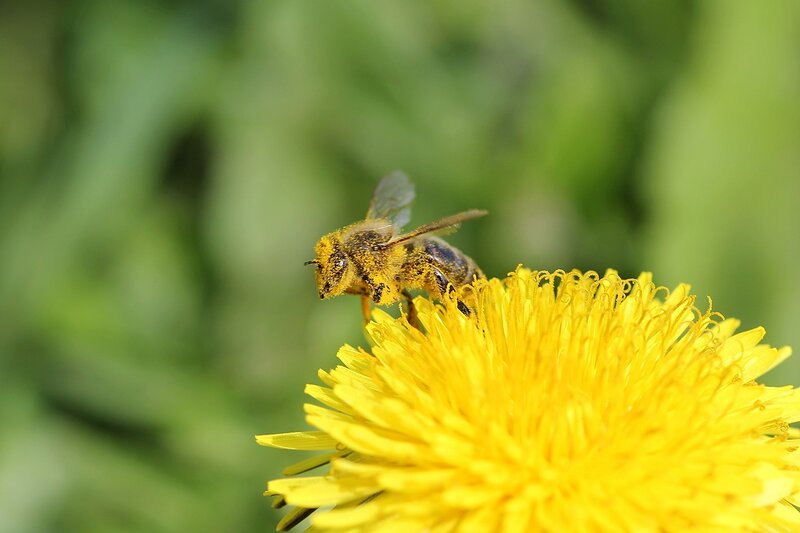 Жёлтая и чумазая - пчела, испачкавшаяся в жёлтой пыльце взлетает с цветка одуванчика