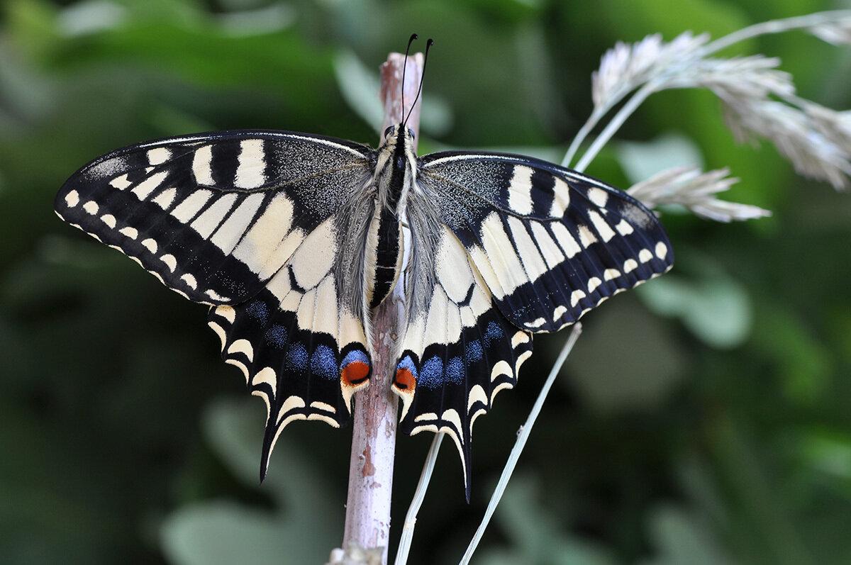 Парусник Махаон (Papilio machaon) Автор фото - Владимир Брюхов