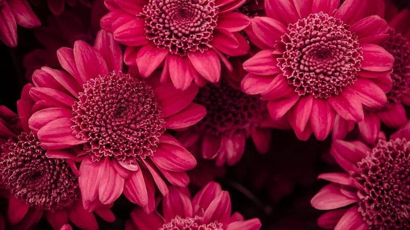 хризантема цветы  № 1353145 без смс