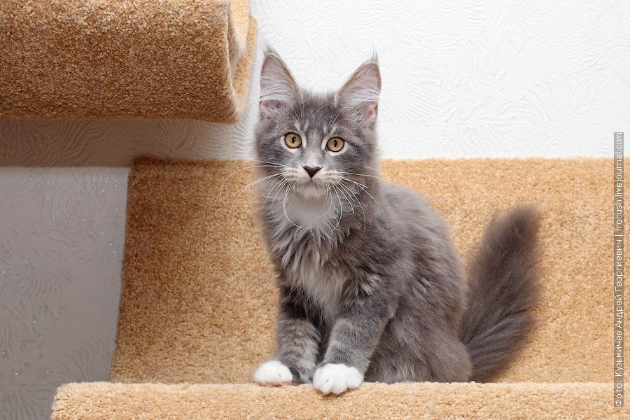 москва продажа котенок мейн кун