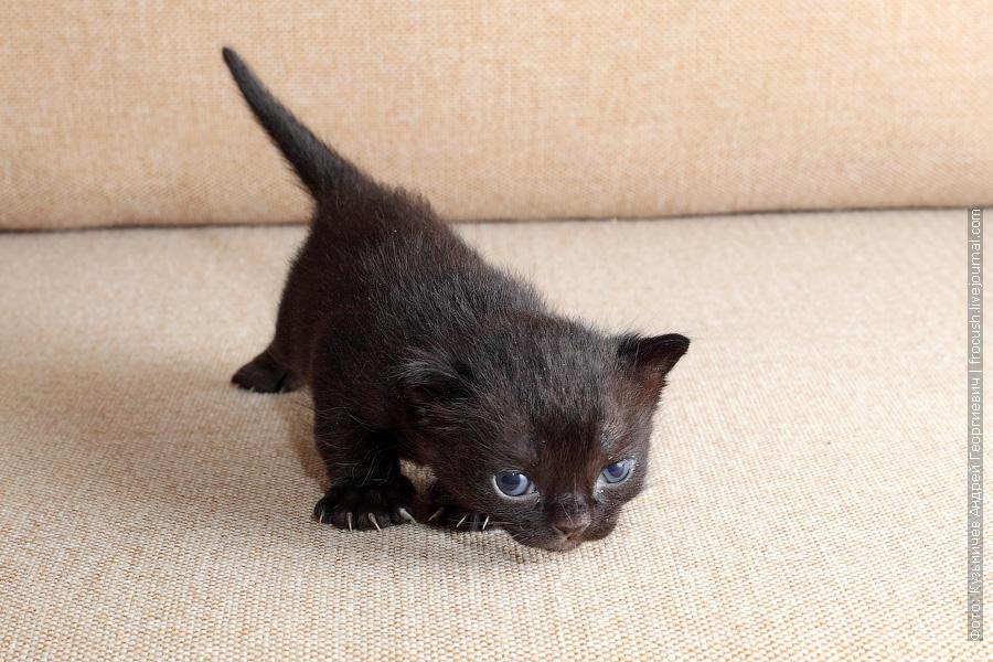 питомник Бомбейские котята продажа