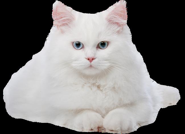 Белый и пушистый красивый кот. - Животные - Клипарты PNG и ...
