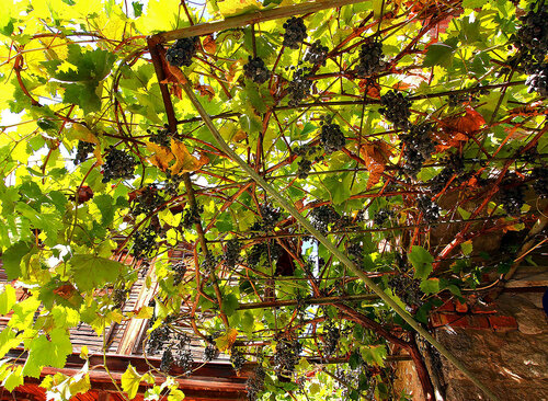 Виноградный козырёк