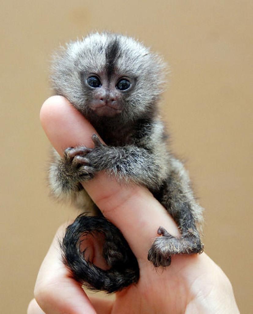 Картинки по запросу самые крошечные обезьянки в мире