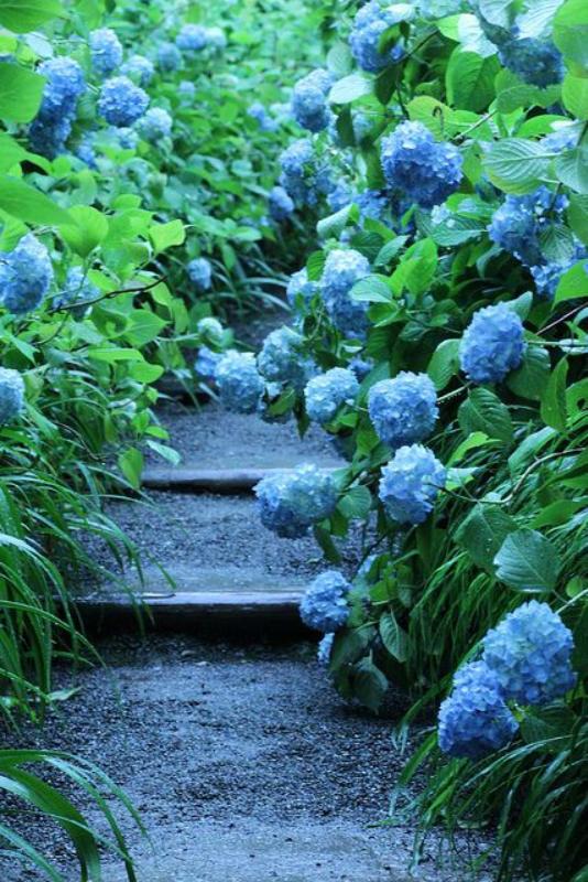 Цветник синий - цветник надежды-гортензия