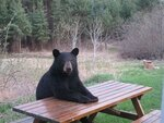 picnic_table_bear1.jpg