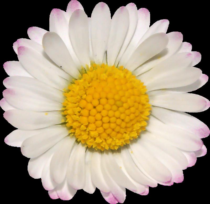 Маргаритки картинки на прозрачном фоне, цветы