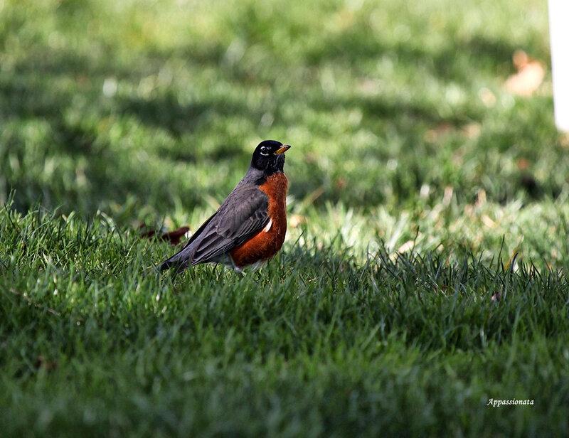American Robin-Странствующий Дрозд
