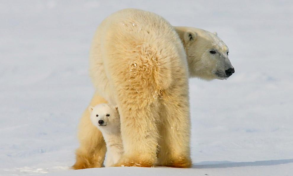 11. Медведицы занимают берлоги лишь в середине ноября, когда заканчивается латентная стадия беременн
