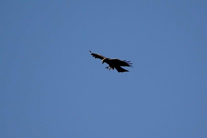 Чёрный коршун (Milvus migrans) выпустил когти и готовится атаковать