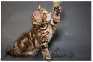 шоколадная мраморная британская короткошерстная кошка