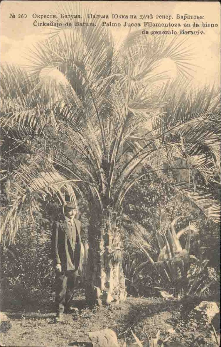 Пальма Юкка на даче генерала Баратова