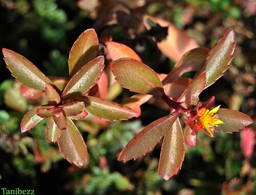 Очиток (живучник) Живучий / Sedum (aizopsis) Aizoon осенью