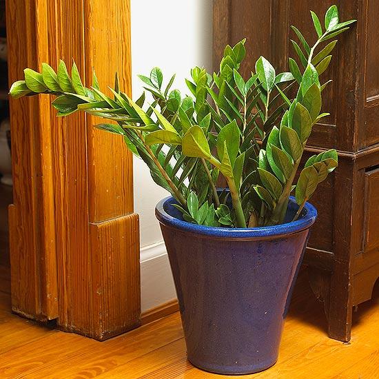 Замиокулькас - Zamioculcas zamiifolia
