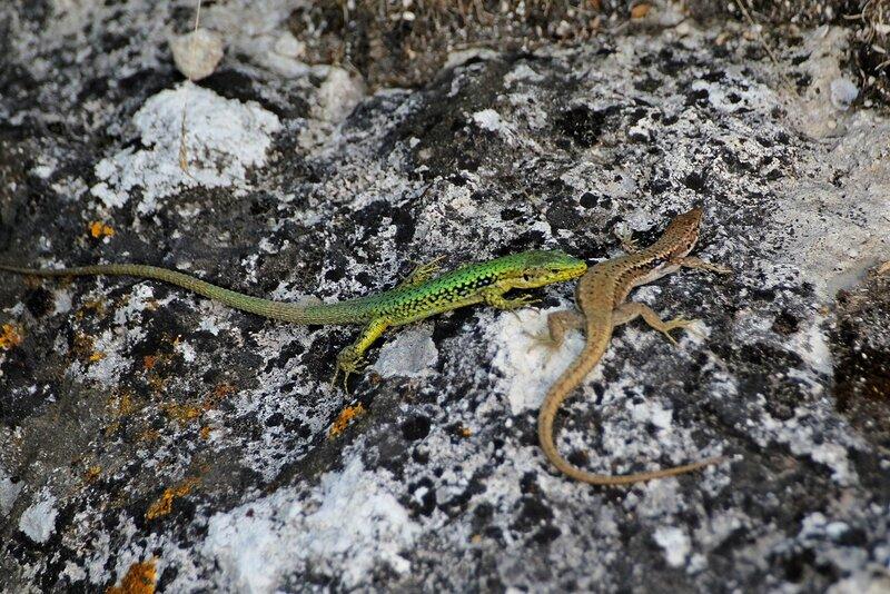 Ящерица прыткая (Lacerta agilis) самец в зелёном брачном наряде и коричневая самка