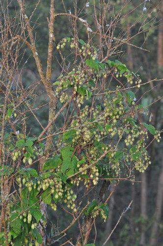 Хмель обыкновенный (Humulus lupulus) Автор фото: Владимир Брюхов