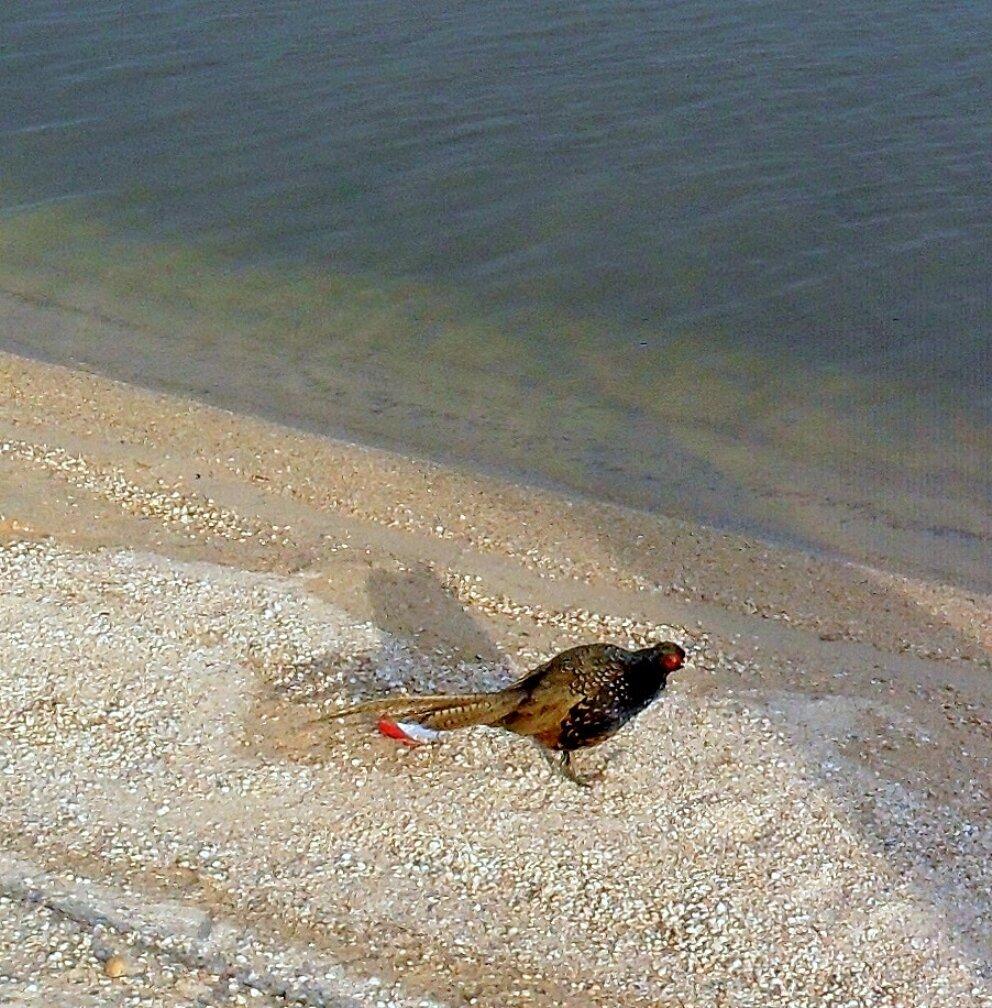 Фазан на берегу