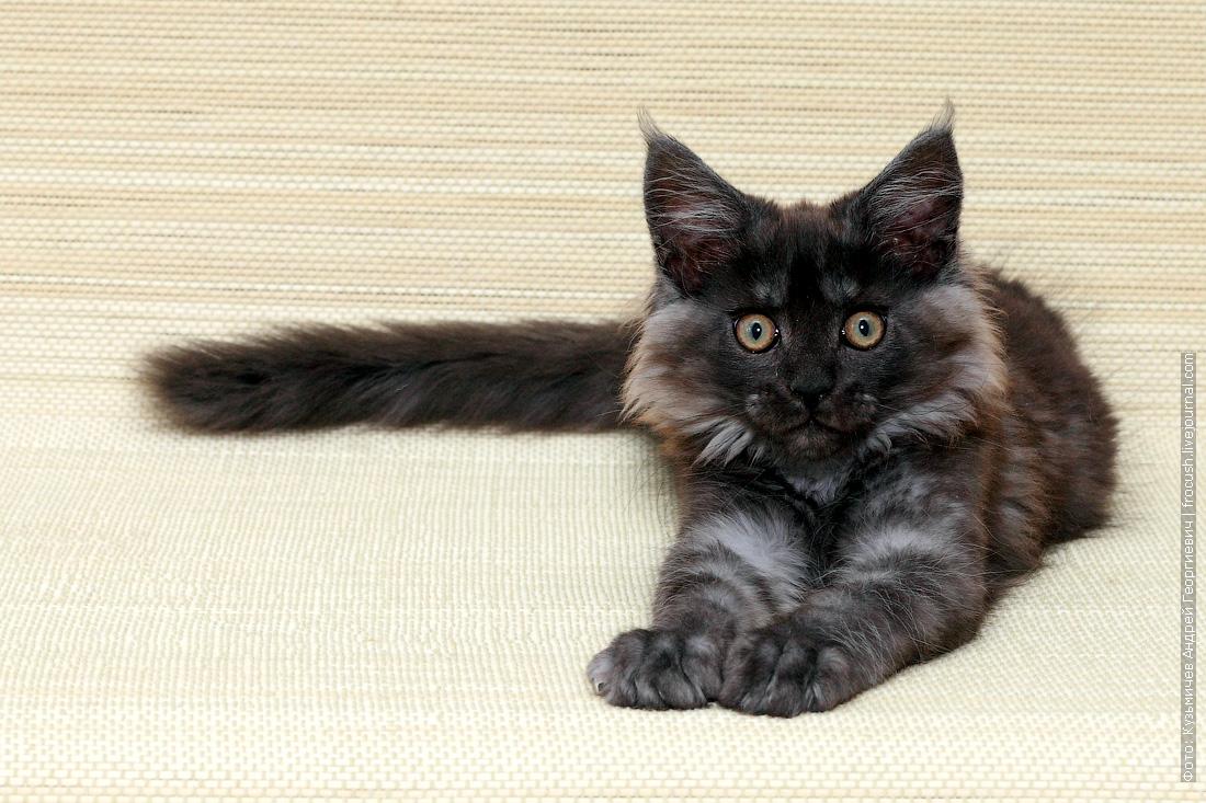 купить котенок мейн-кун