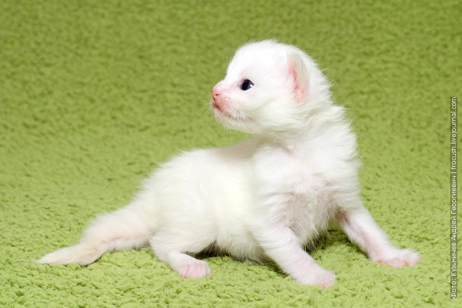 белый котенок Мейн-кун забронировать